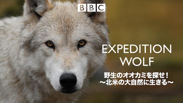 野生のオオカミを探せ! ~北米の大自然に生きる~ 動画