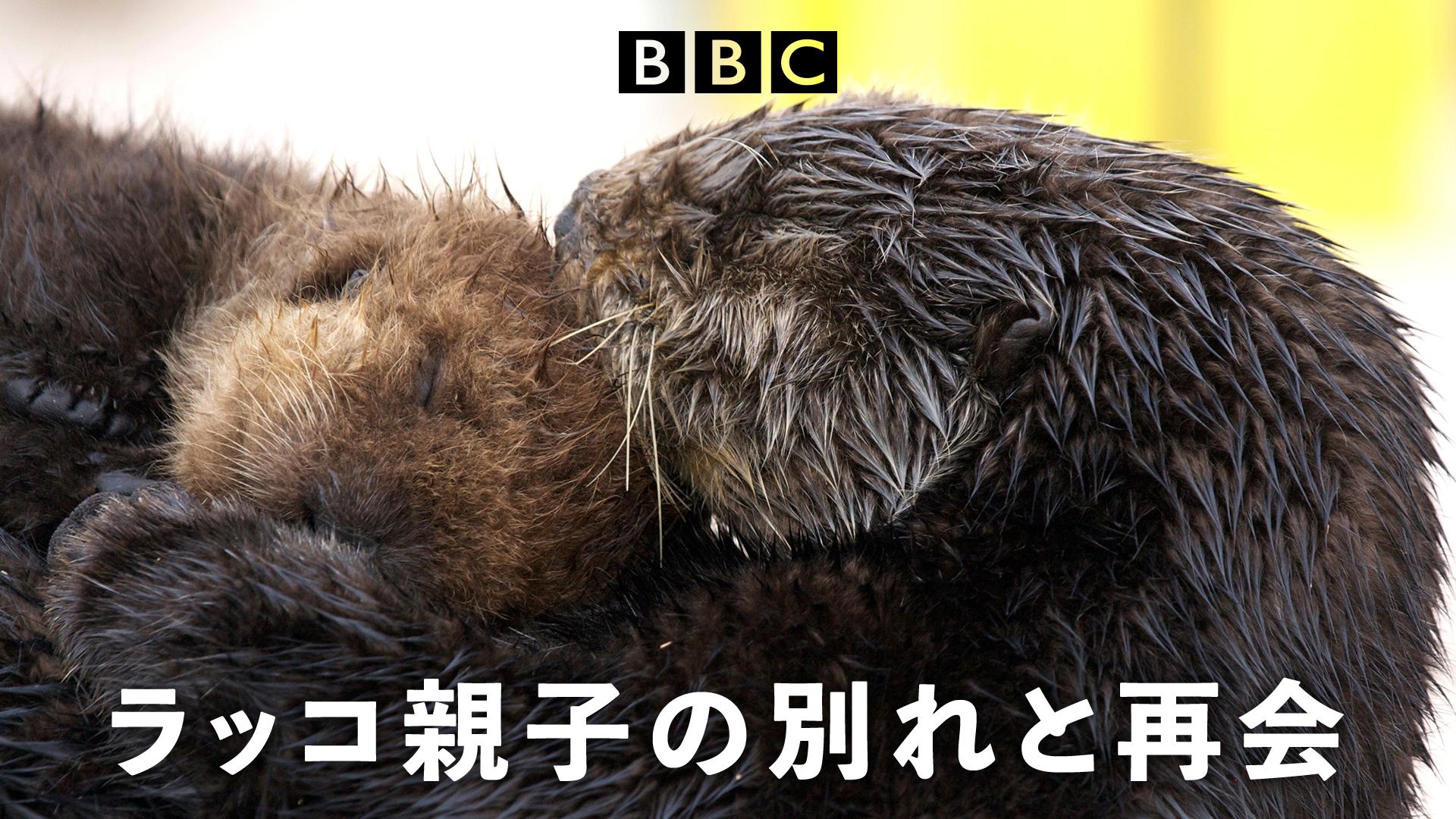 ナチュラルワールド~動物親子特集~ラッコ親子の別れと再会の動画 - 氷の国の動物たち