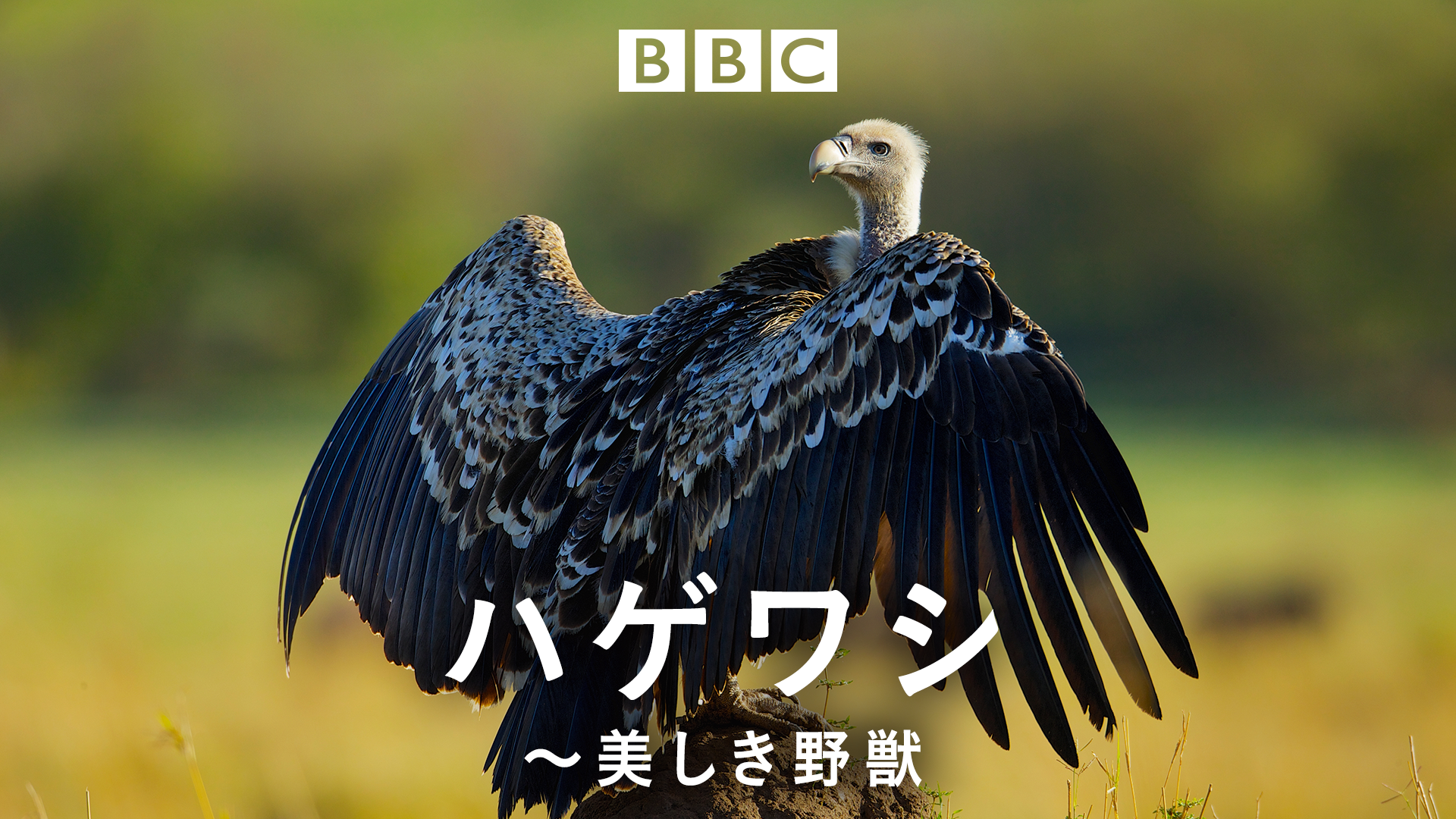 動物の謝肉祭 ハゲワシ~美しき野獣~ (ナチュラルワールド)の動画 - 氷の国の動物たち