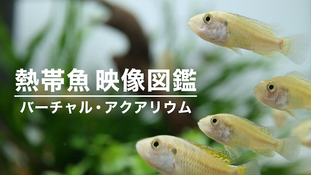 熱帯魚映像図鑑 バーチャル・アクアリウムの動画 - 上野動物園の世界(全国流通版)