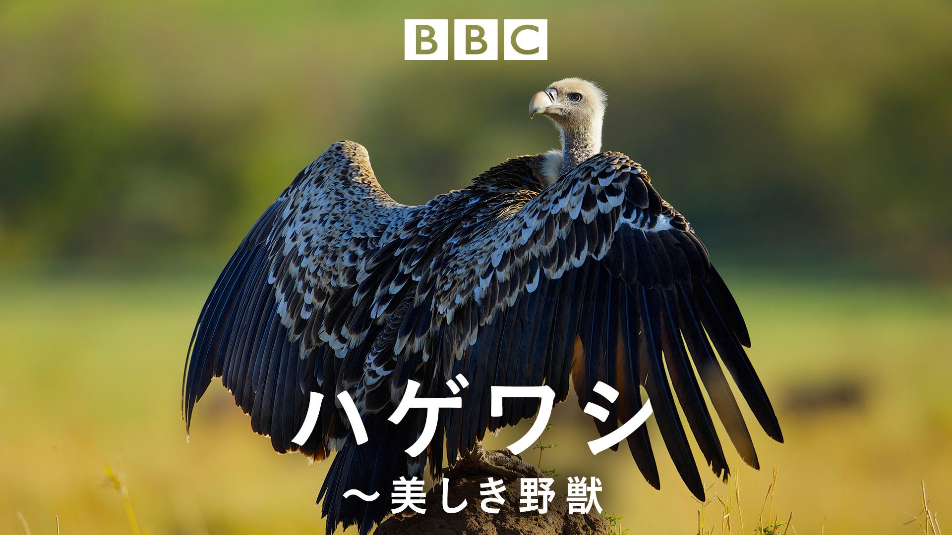 特集:動物の謝肉祭 ハゲワシ~美しき野獣~ (ナチュラルワールド)