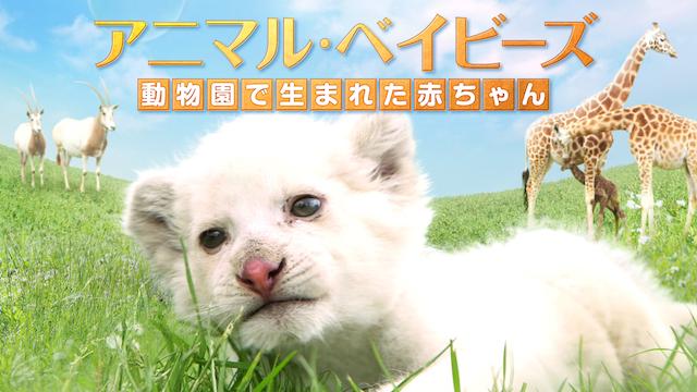 アニマル・ベイビーズ 動物園で生まれた赤ちゃん動画