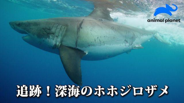 追跡!深海のホホジロザメ