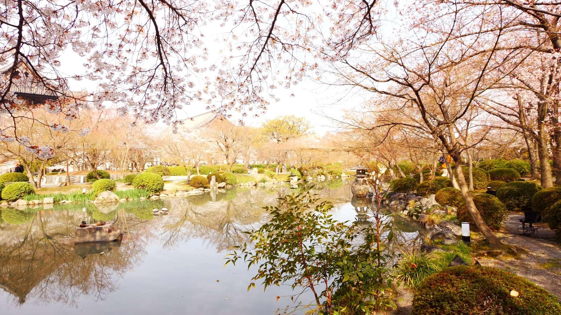 京都 桜【HealingBlue】