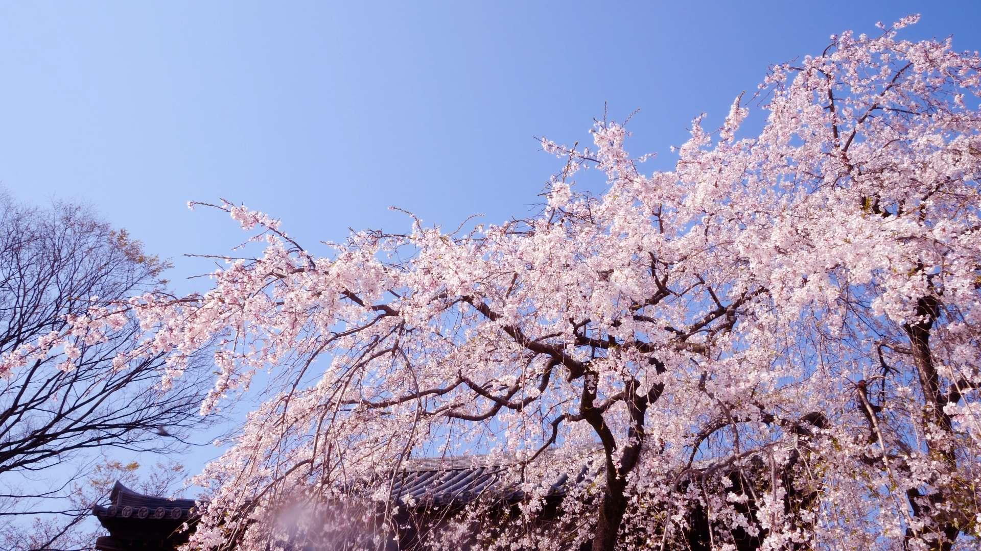 花見・桜【HealingBlue】
